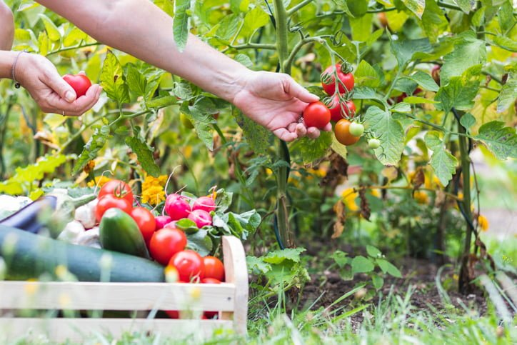 Female hands harvesting fresh tomatoes from a garden to wooden crate with vegetables.