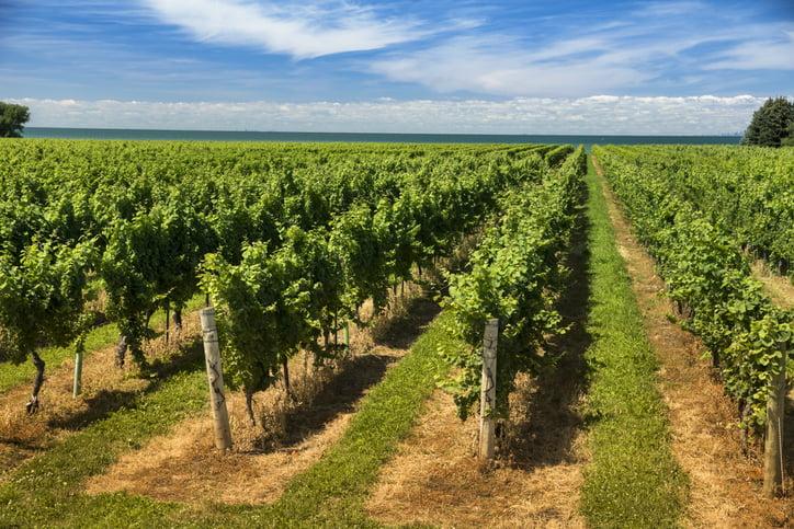 Winery grapes on a vineyard in Niagara Falls Ontario Canada